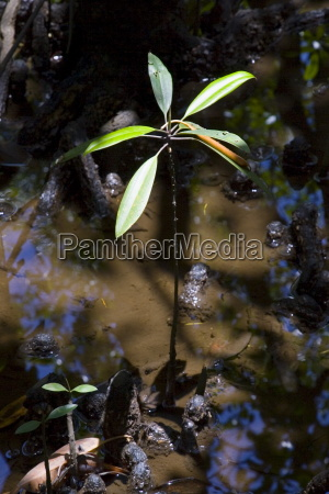 young mangrove shoot grows in the