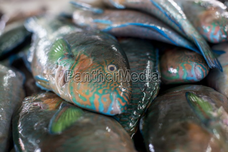 parrotfish scaridae an important herbivore in