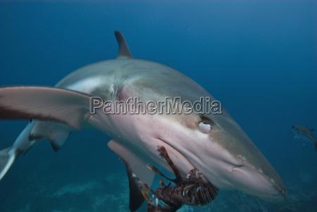 caribbean reef shark carcharhinus perezii eating