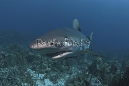 caribbean reef shark carcharhinus perezii showing