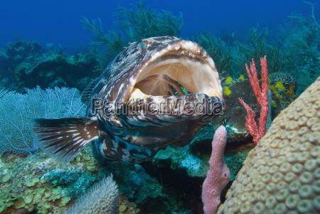 close up of a black grouper