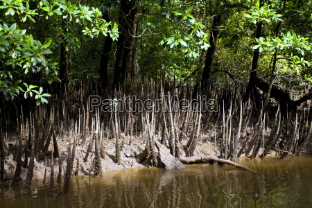 mangrove shoots grow in the shallows