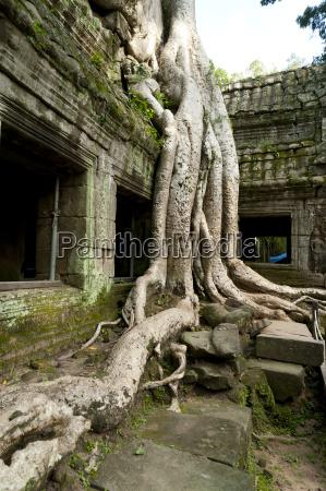 kapok tree growing in the ruins