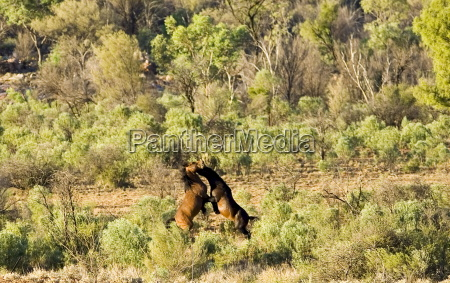 mustangs fighting in the red centre