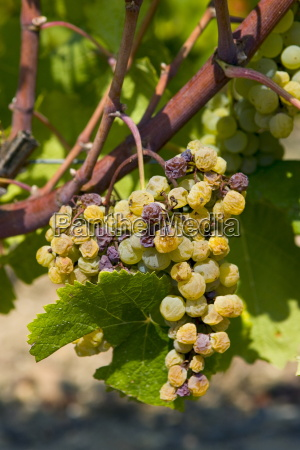 noble rot botrytis cinera on grape