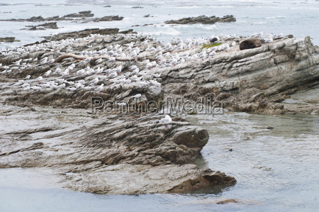 fur seals surrounded by seagulls at
