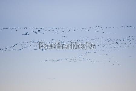 pink footed geese migration holkham norfolk