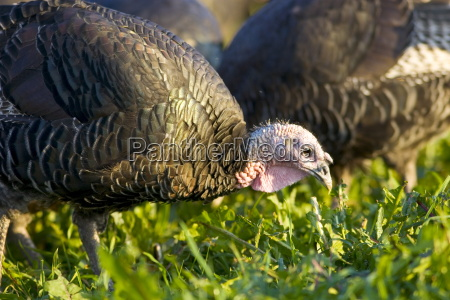 free range norfolk bronze turkeys roam