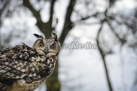 eagle owl raptor bird of prey