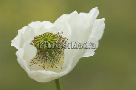 opium poppy papaver somniferum turkey asia