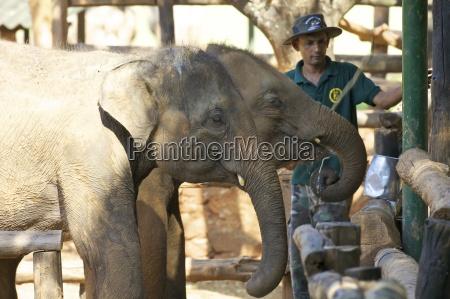 baby asian elephants being fed uda