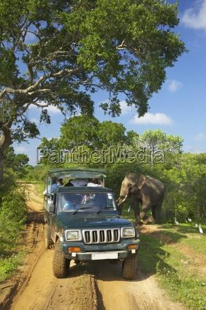 asiatic tusker elephant elephas maximus maximus