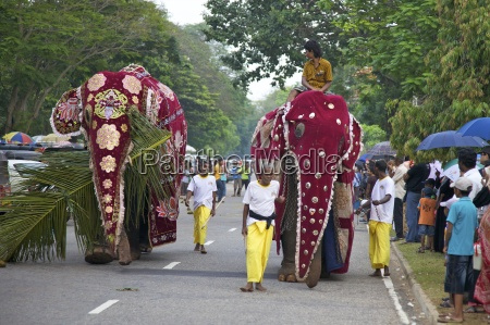 captive asiatic elephants elephas maximus maximus