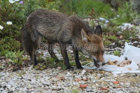 european red fox vulpes vulpes feeding