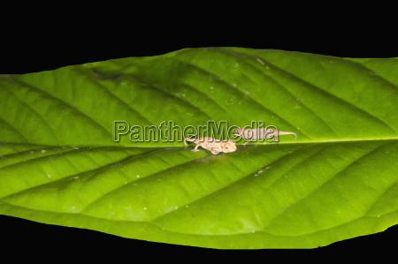juvenile peyrieras pygmy chameleon brookesia peyrierasi