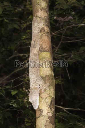leaf tailed gecko uroplatus fimbriatus nosy
