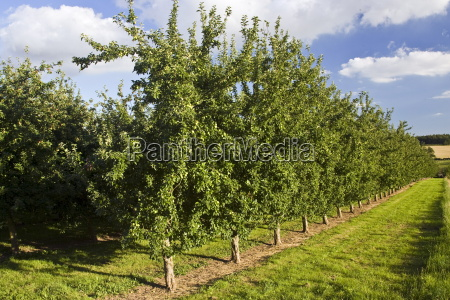 apple orchard herefordshire england united kingdom
