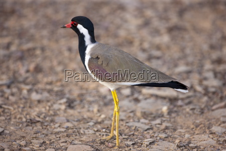 red wattled lapwing vanellus indicus bird