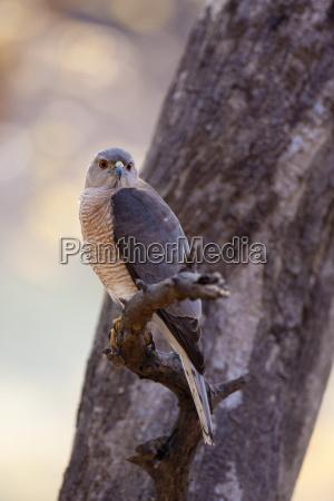shikra hawk bird of prey accipiter