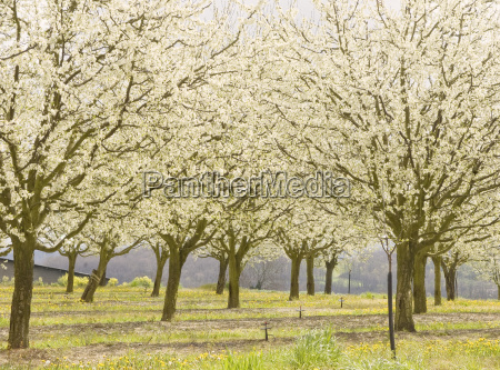 plum trees in blossom france europe
