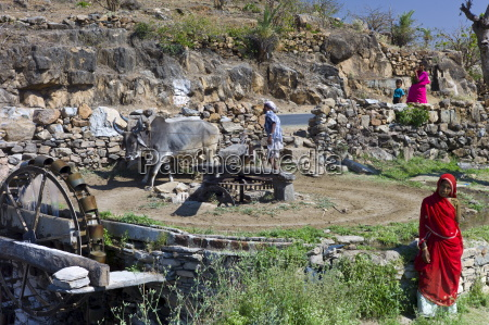 farmer using pair of oxen to
