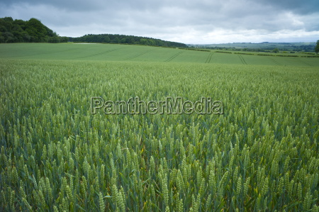 wheat field cereal crop in the