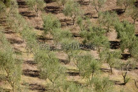 olive grove near murlo intuscany italy