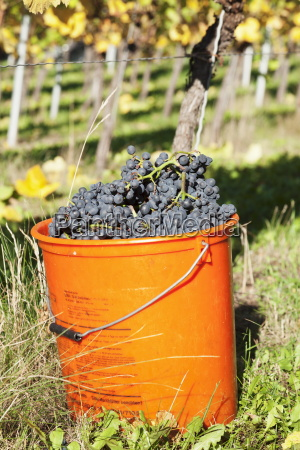 bucket of wine grapes grape harvest