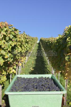grape harvest esslingen baden wurttemberg germany