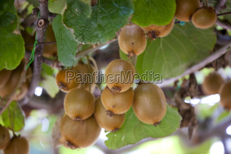 kiwi fruit growing farm estate of