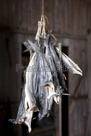 stockfish cod drying in fishermans hut