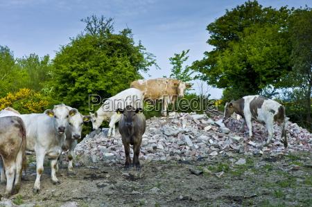 irish cattle climb on builders rubble