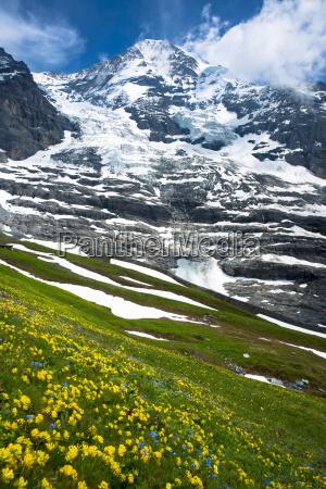 alpine wildflowers the eiger glacier eigergletscher