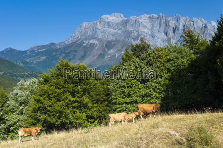herd of cattle in meadow in
