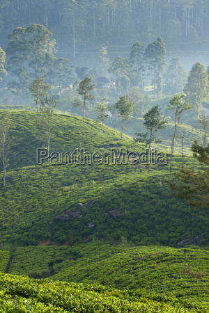 ceylon tea plantation dickoya hill country