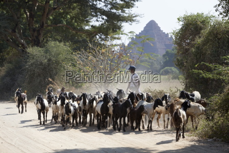 flock of goats along dusty track
