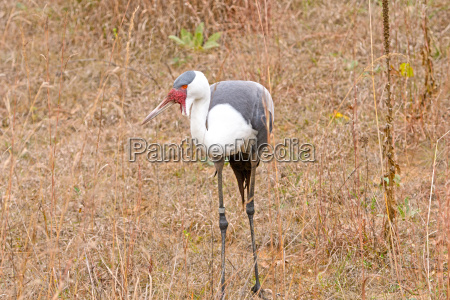 wattled crane in a field