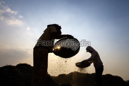 agriculture winnowing peas kampong chhnang cambodia