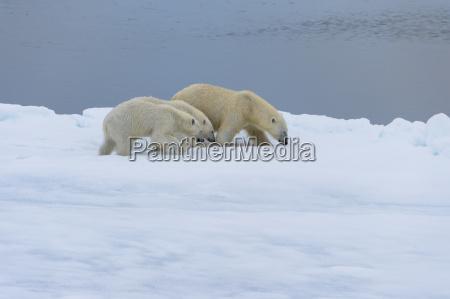 mother polar bear ursus maritimus walking