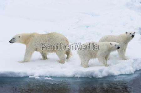 mother polar bear ursus maritimus with
