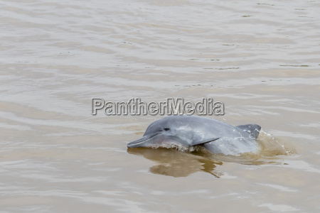 adult gray dolphin bufeo gris sotalia
