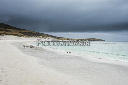 white sand beach carcass island west
