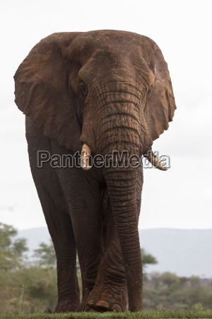 african elephant loxodonta africana zimanga private