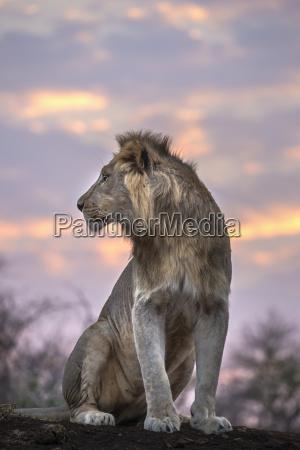 lion panthera leo at dawn zimanga