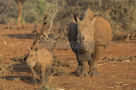 white rhino ceratotherium simum cow with