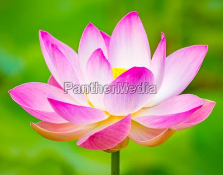 flor de lotus do close up