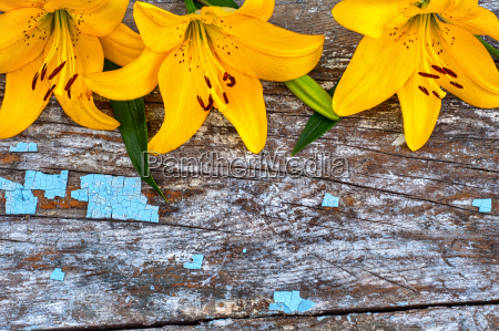 three yellow lilies on a gray
