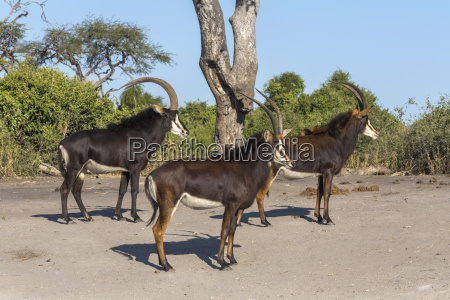 sable hippotragus niger chobe national park