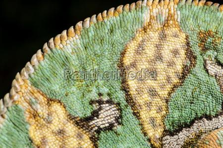 yemen chameleon chameleon calyptratus captive yemen