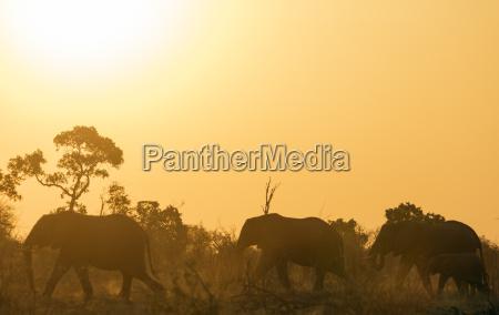 african elephant loxodonta africana at sunset